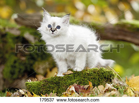 Picture of Sacred Birman. Kitten on a mossy branch 179537.