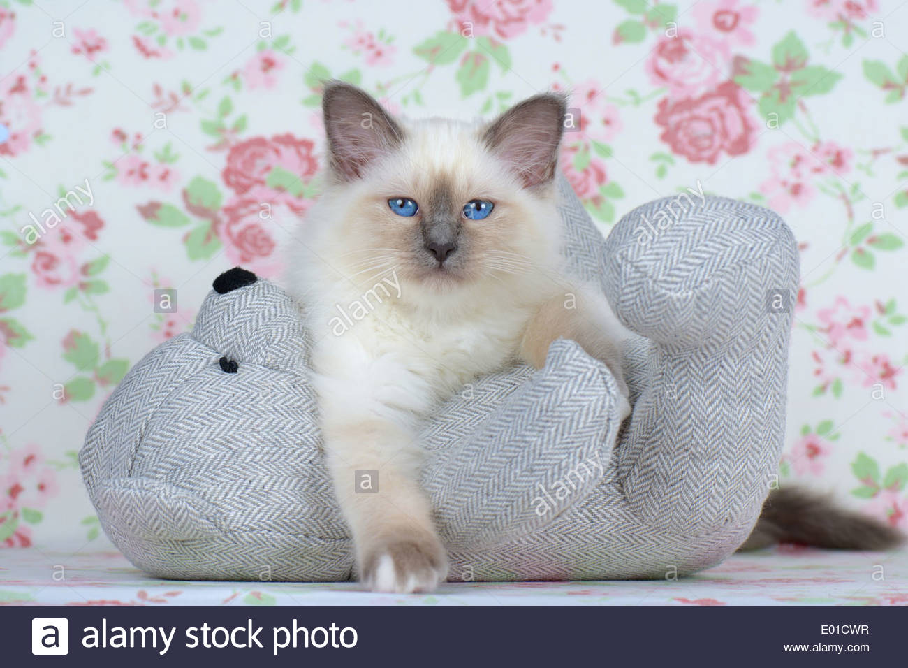 Cute Kitten Teddy Bear Stock Photos & Cute Kitten Teddy Bear Stock.