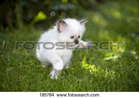 Stock Photo of Sacred Birman. Kitten (seal.