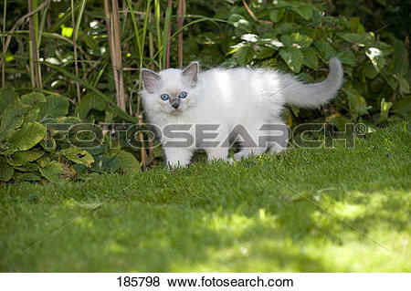 Pictures of Sacred Birman. Kitten (blue.
