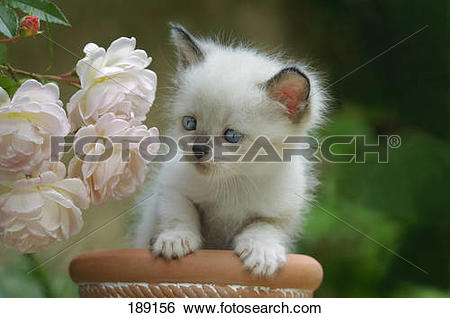 Stock Images of Sacred Birman. Kitten in a flower pot next to rose.