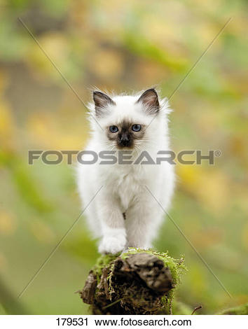 Stock Photography of Sacred Birman. Kitten on a mossy branch.
