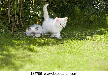 Stock Image of Sacred Birman. Two kittens (blue.