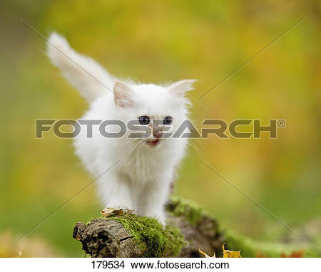Stock Photo of Sacred Birman. Kitten on a mossy branch 179534.