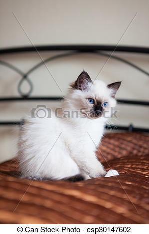 Stock Photography of Astonished sacred birman cat sitting on bed.