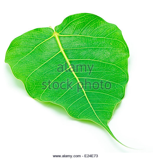 Sacred Fig Stock Photos & Sacred Fig Stock Images.