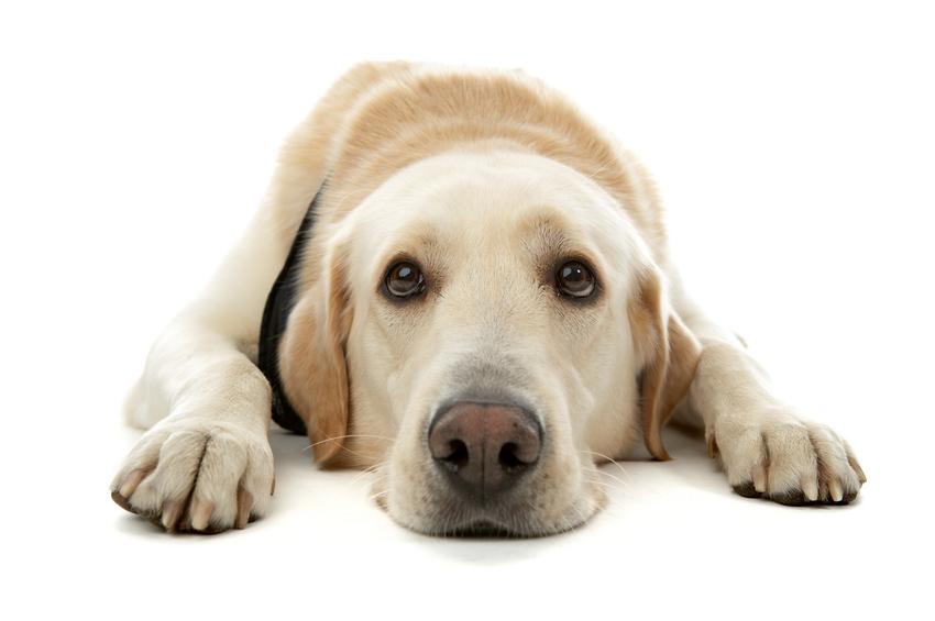 Sad Puppy Png.