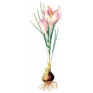 Saffron, from herbs page, public domain clip art image.