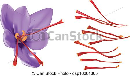Vector Clipart of Saffron flower isolated on white background.