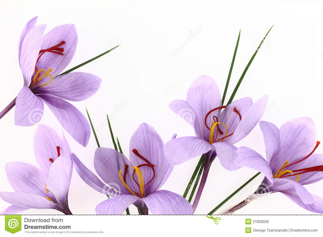Saffron Flowers Royalty Free Stock Image.