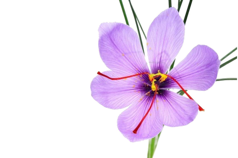 saffron flower drawing.