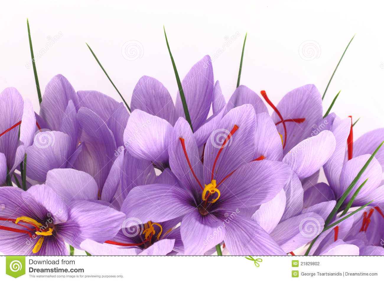 Saffron Flowers Stock Photography.