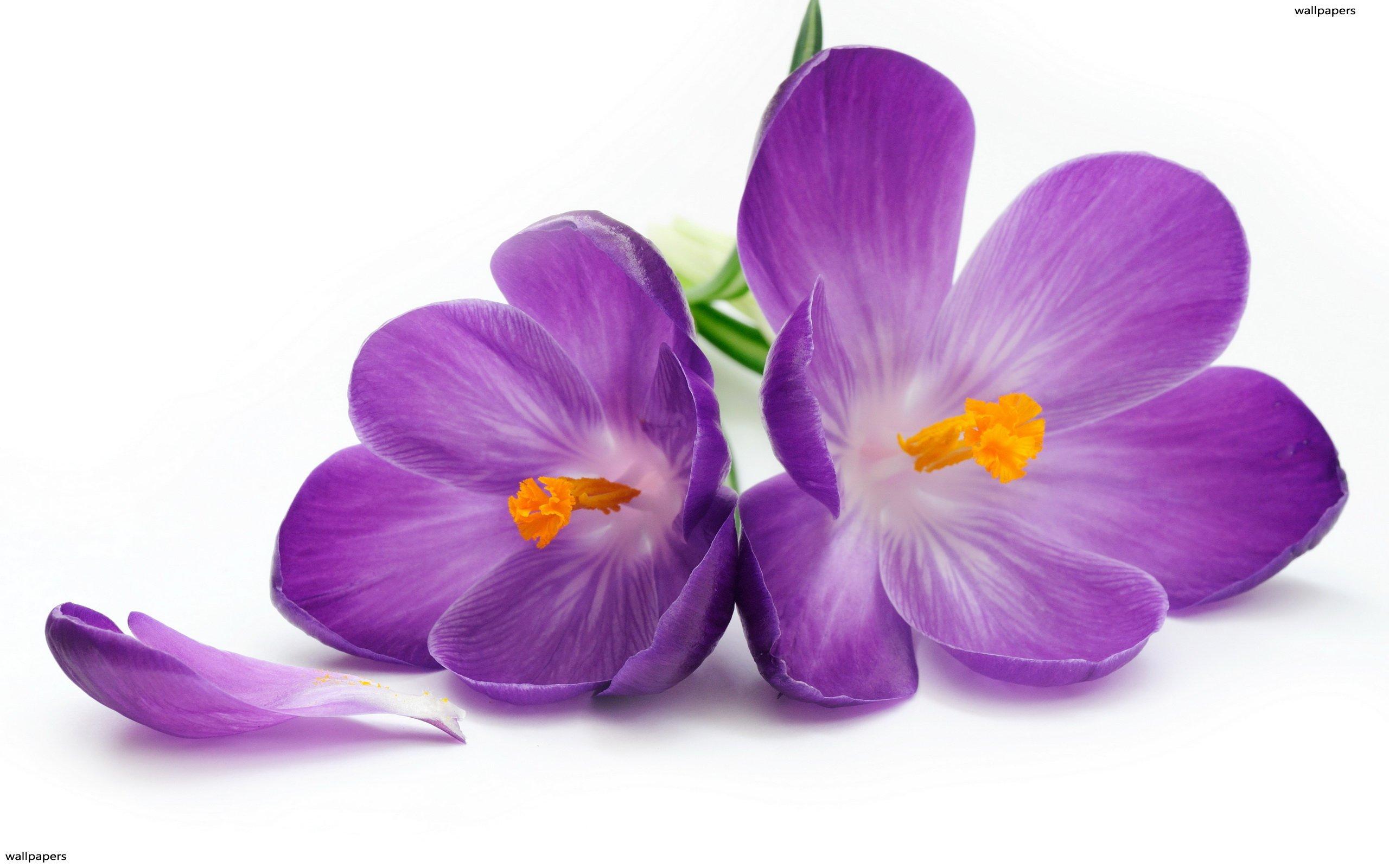 Purple Saffron Flower 1600x1200px #651558.