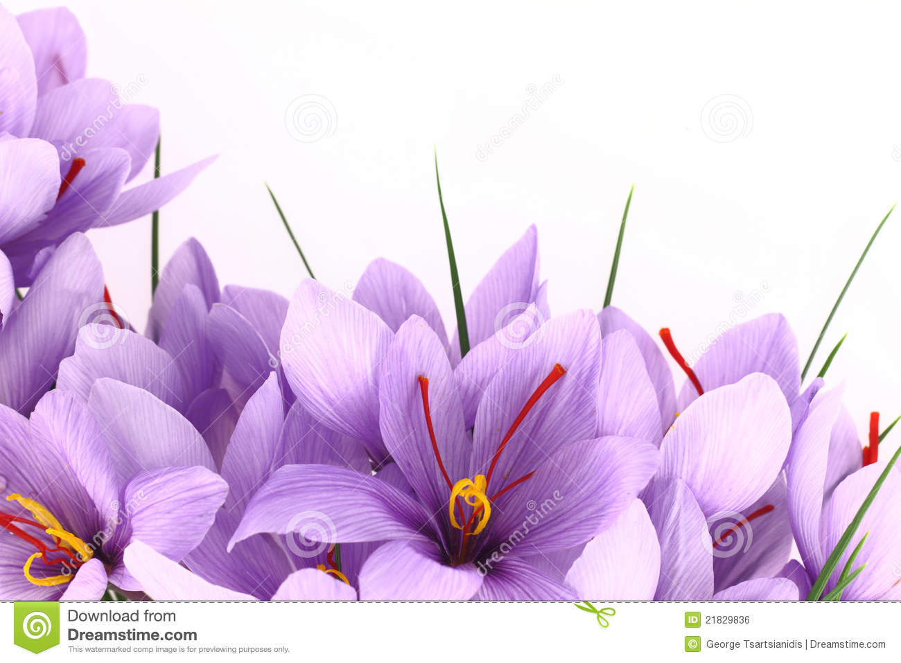 Saffron Flower Stock Photos, Images, & Pictures.