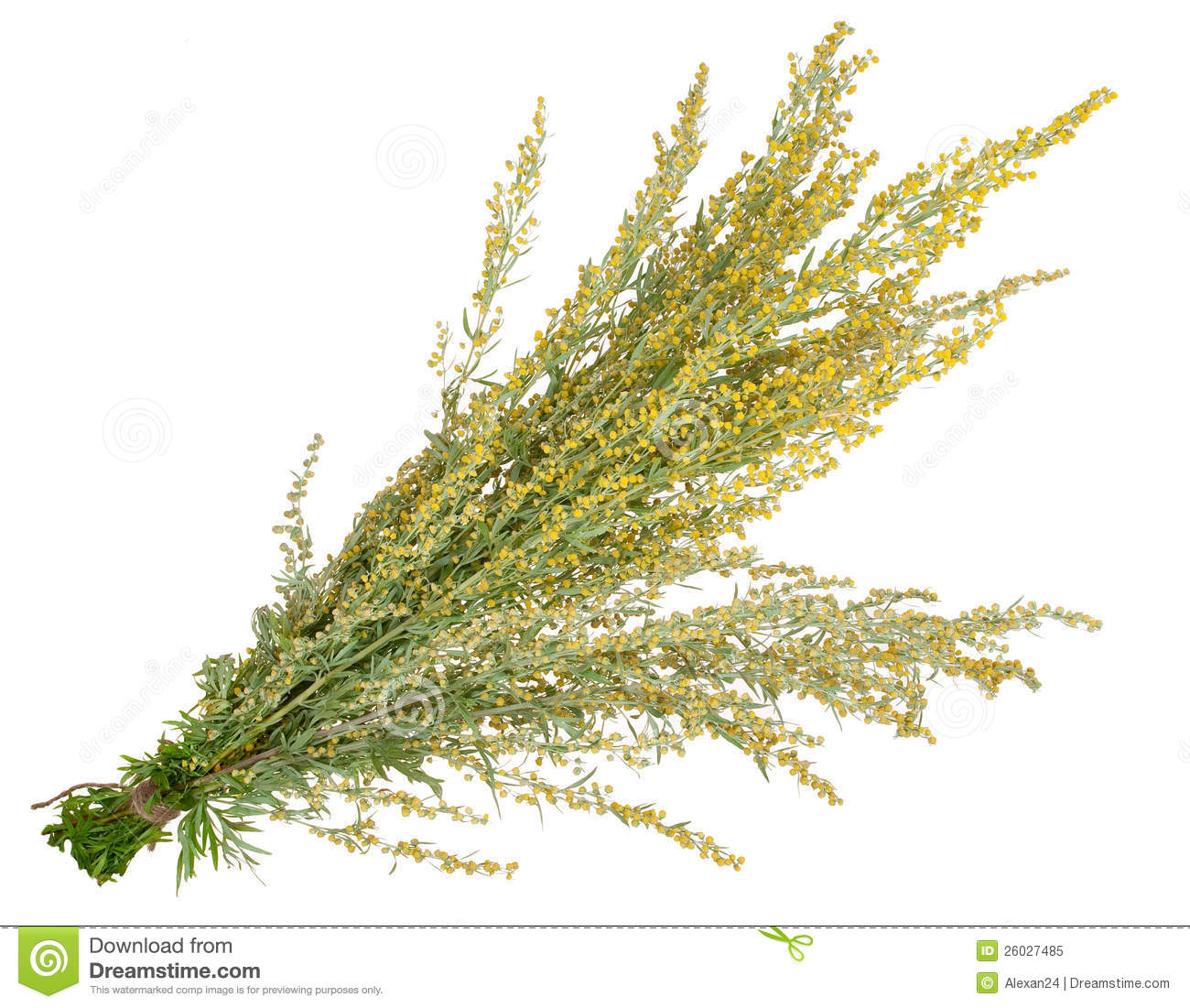 Medicinal Plant. Sagebrush Royalty Free Stock Photo.