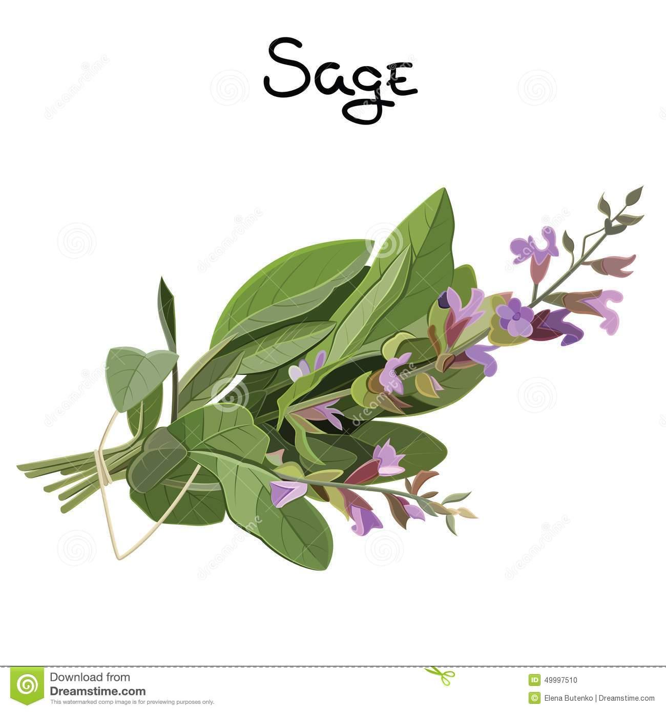 Similiar Sage Clip Art Keywords.