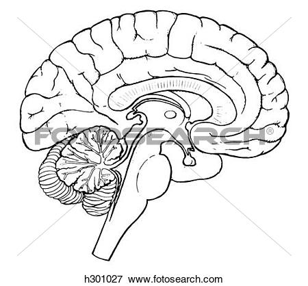 Stock Illustration of Brain, sagittal section h301027.