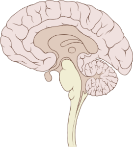 Px Brain Human Sagittal Section.