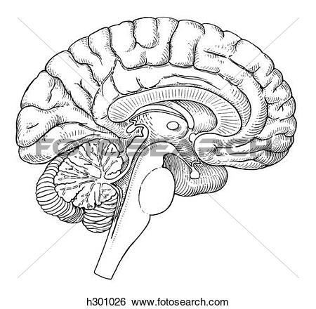 Stock Illustration of Brain, sagittal section h301026.