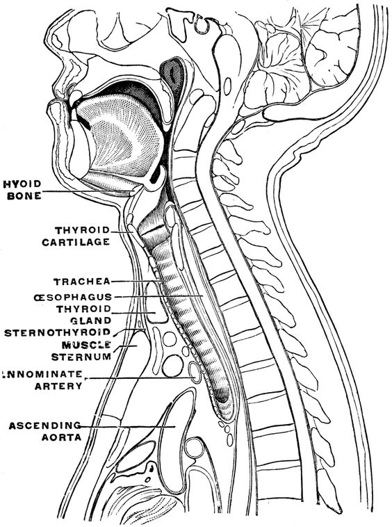 Sagittal Section of the Neck and Head.