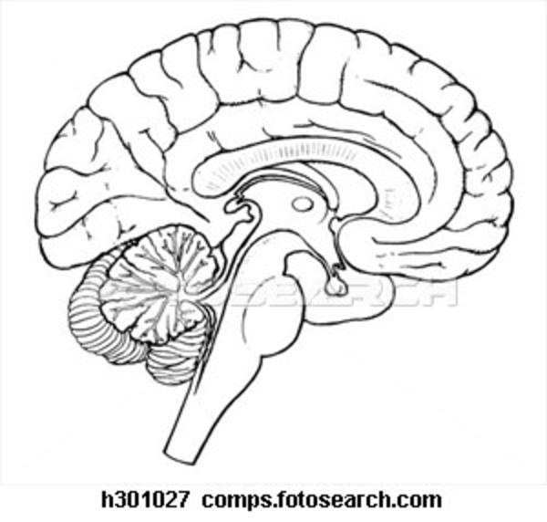 Brain Sagittal Section H.