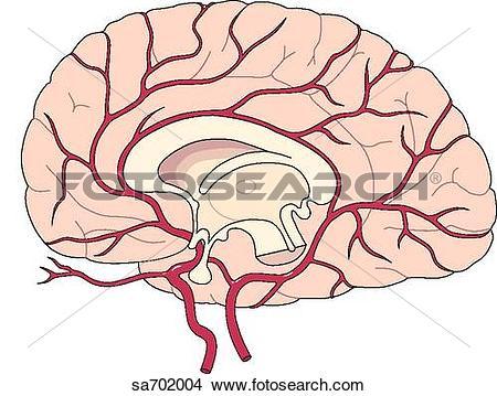 Drawings of Sagittal section of brain revealing midsagittal.