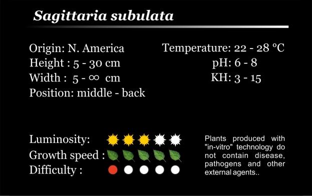 Subulata Tissue Culture.