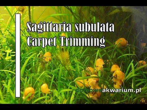 Sagittaria Subulata Carpet Trimming.