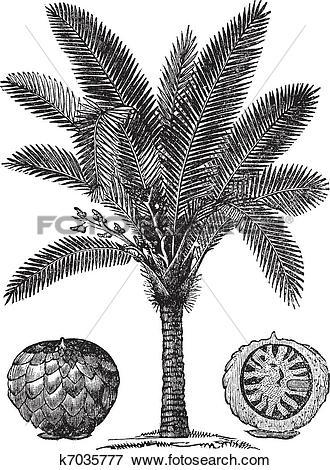 Clip Art of Sago Palm or Metroxylon sagu vintage engraving.