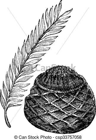 Clipart Vector of Sago Palm or King Sago Palm or Cycas revoluta.