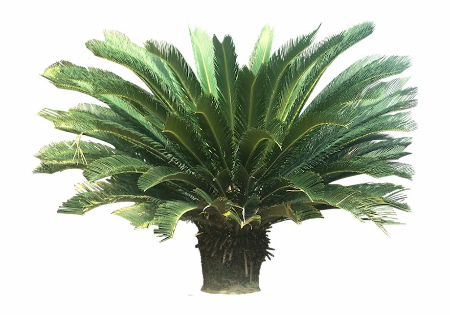 Tropical Palm Plants Sago Palm Png.