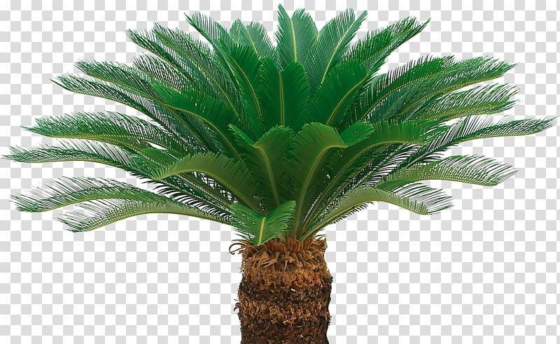 Sago palm transparent background PNG cliparts free download.