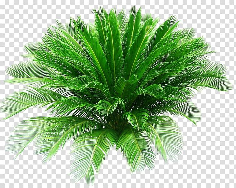 Sago palm plant, Sago palm Pygmy date palm Arecaceae.