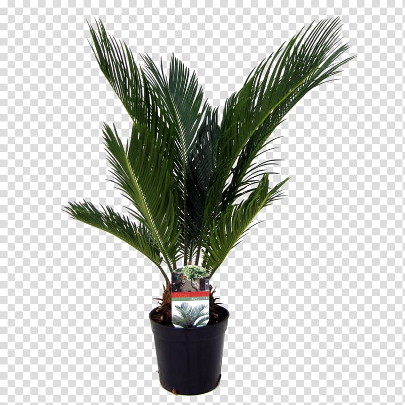 Arecaceae Sago palm Houseplant Date palms, plant transparent.