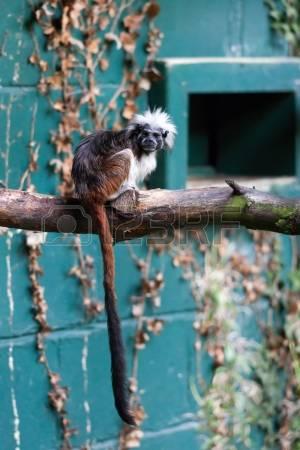 Cotton Top Monkey Stock Photos Images. Royalty Free Cotton Top.