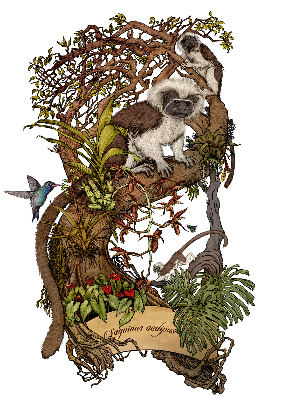 File:Saguinus oedipus.