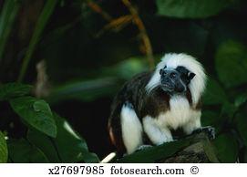 Tamarin Images and Stock Photos. 481 tamarin photography and.