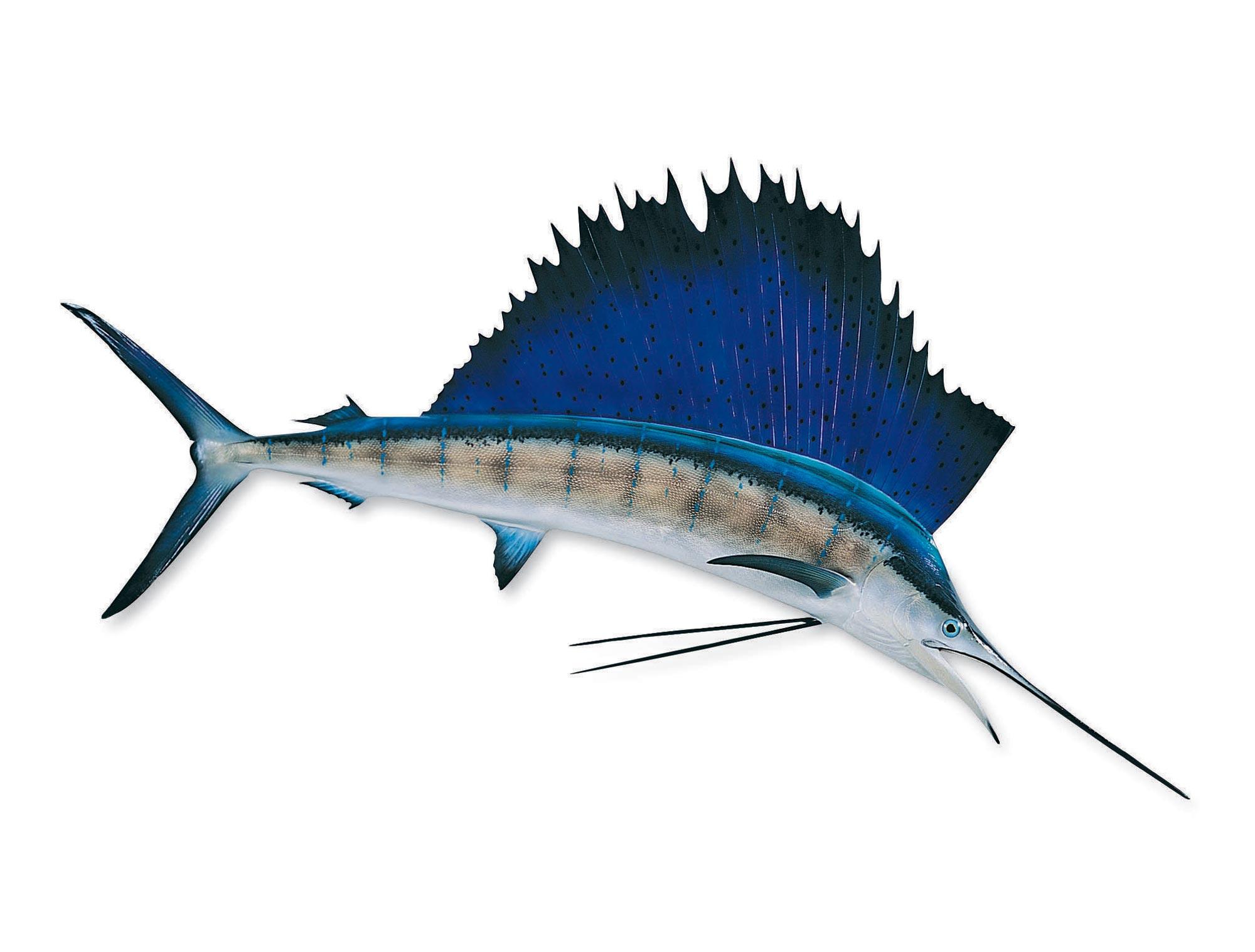 Free Sailfish Cliparts, Download Free Clip Art, Free Clip.
