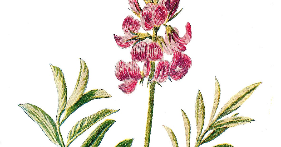 Antique Images: Digital Flower Illustration Vintage Wildflower.