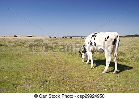 Stock Images of Cows in St Peter.