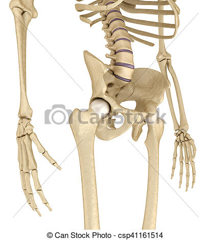 Clipart of Human skeleton: pelvis and sacrum. Isolated on white.