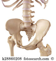 Sacrum Illustrations and Stock Art. 2,258 sacrum illustration and.