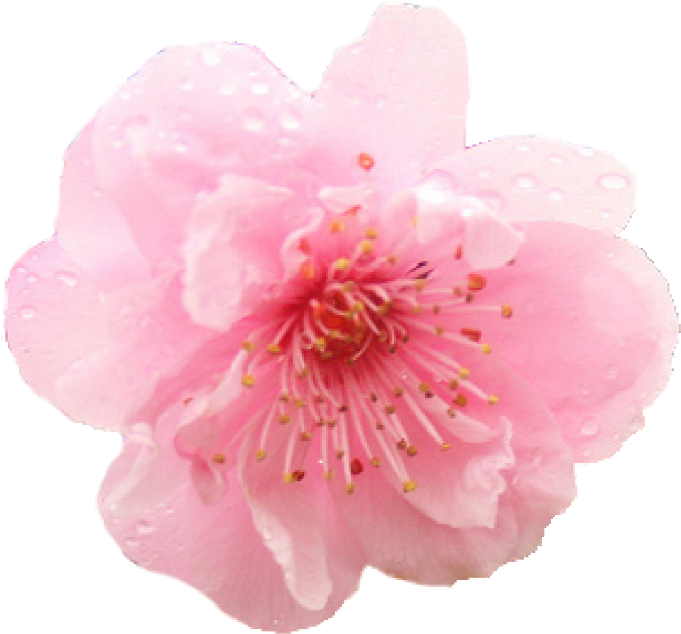 Cherry Blossom Png Hd.