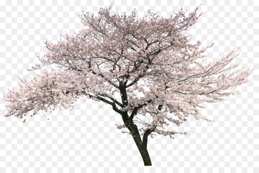 Cherry Blossom Tree Png & Free Cherry Blossom Tree.png.