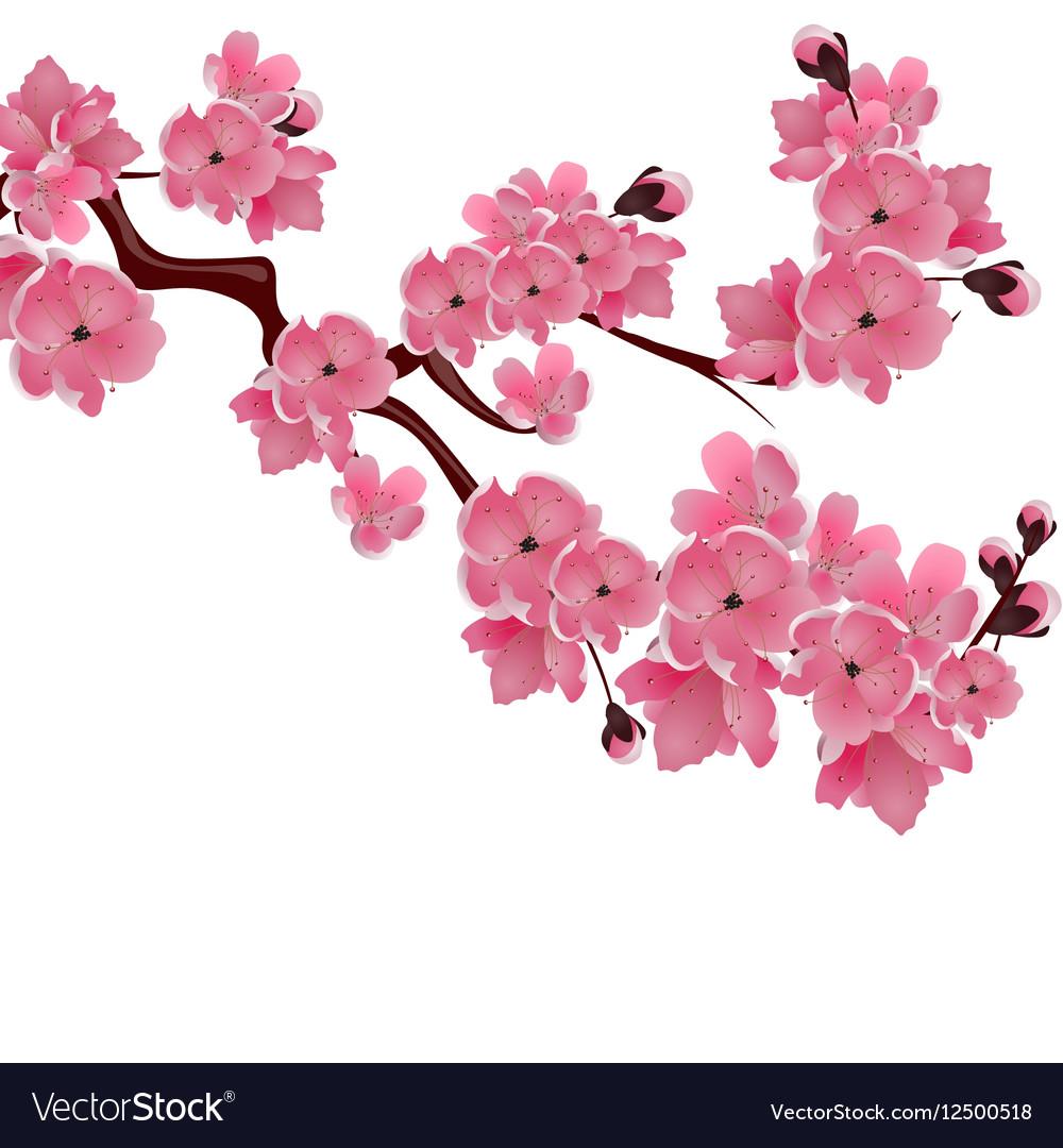 Flowering Japanese cherry Sprig of pink sakura.