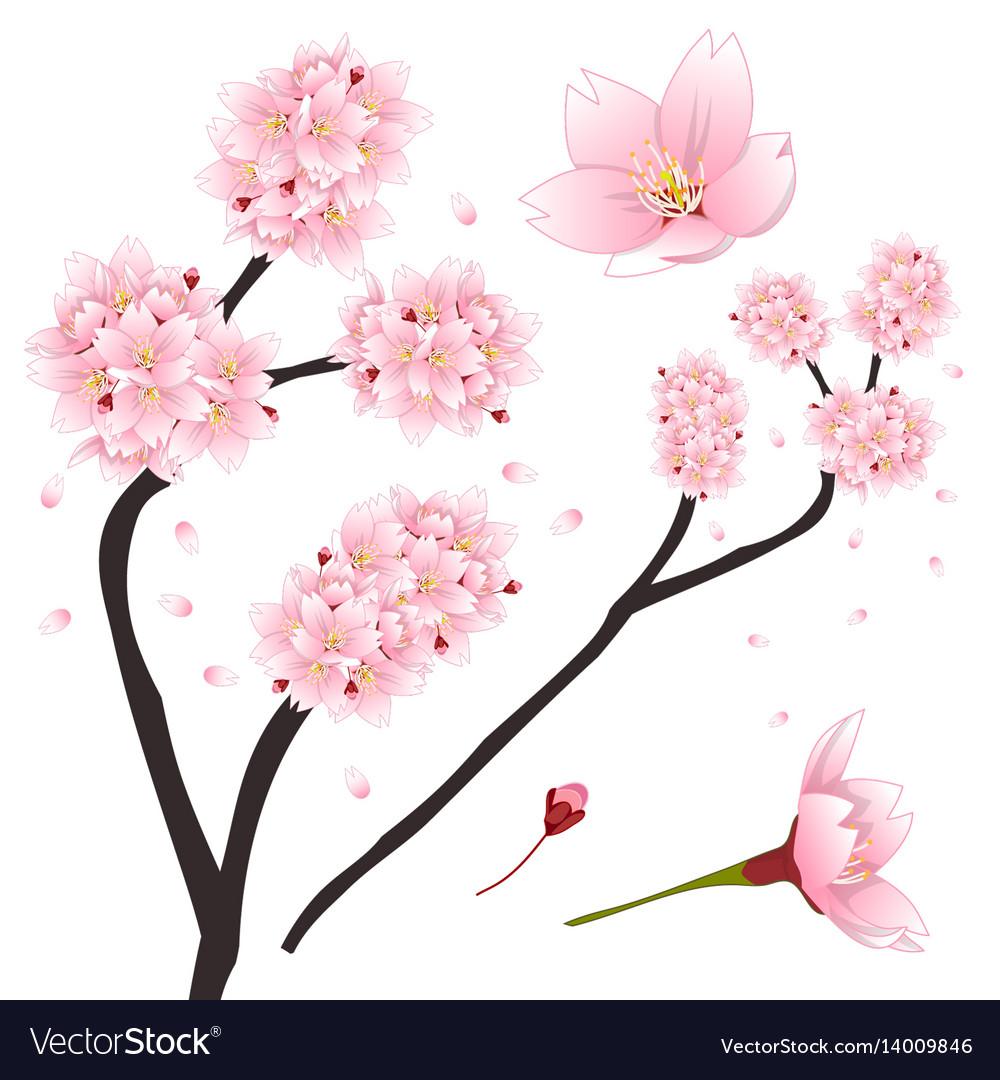 Prunus serrulata.