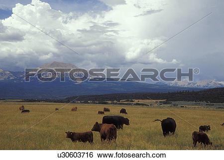 Stock Images of UT, Utah, Herd of beef cattle grazing in a field.