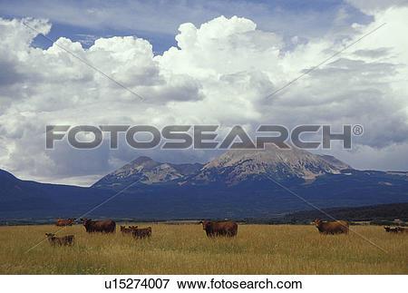 Picture of UT, Utah, Herd of beef cattle grazing in a field in La.