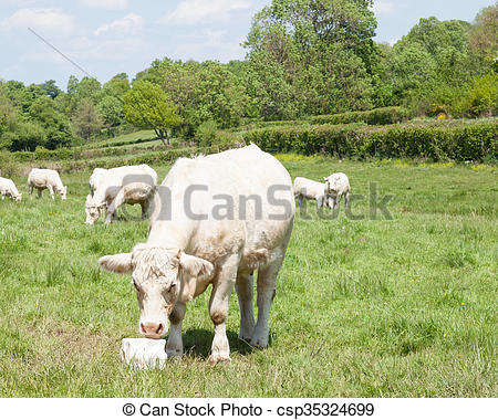 Stock Photographs of White Charolais beef cow eating salt lick.