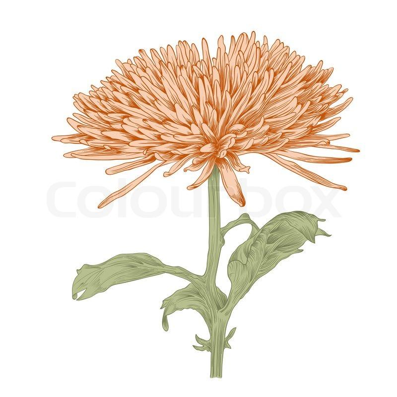 Chrysanthemum floral greeting card.